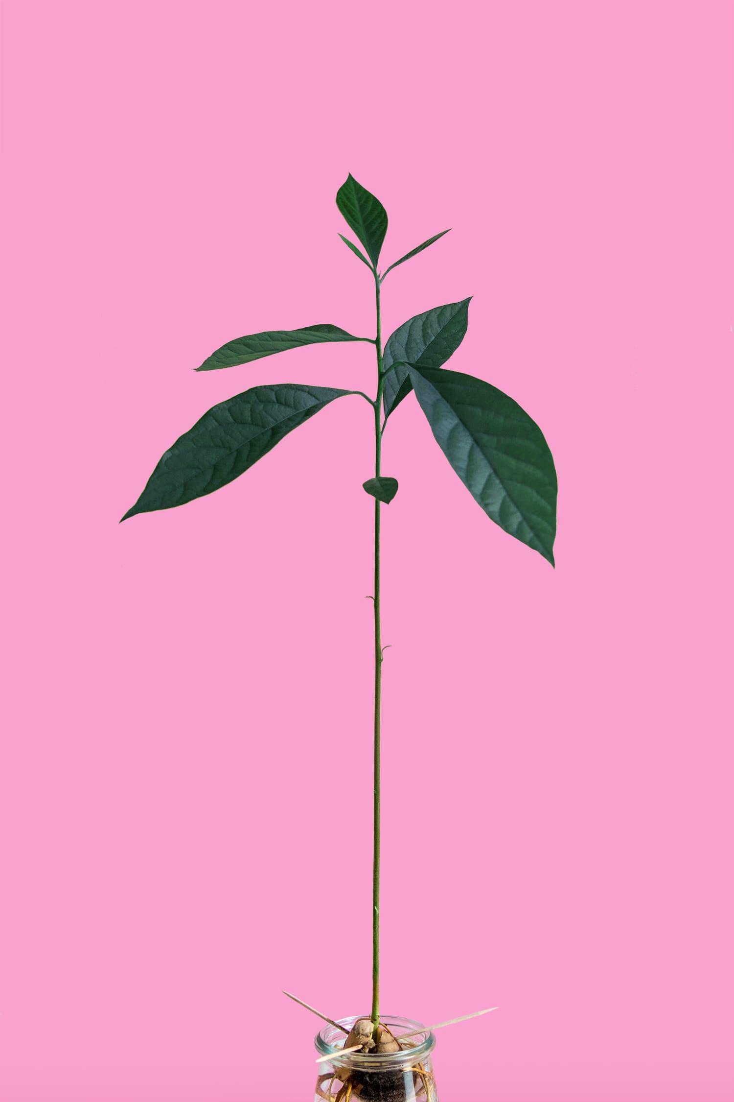 Schnubsi | Avocadopflanze | Plants | Interior | ivy.li